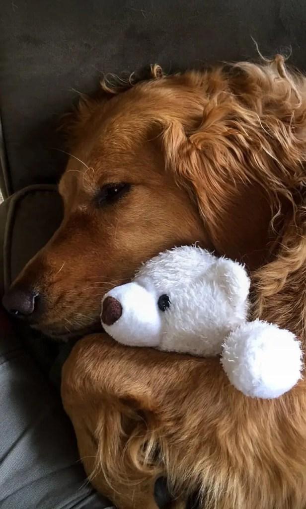 Golden Retriever Cuddling