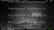 red fox_brave [PHWR]