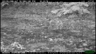 red fox_cub [PHWR]