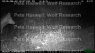 Red fox_head [PHWR]
