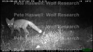 red fox_night [PHWR]