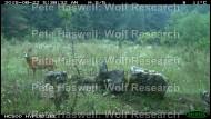 Roe deer buck [PHWR]