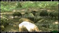 wild boar herd [PHWR]