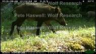 wild boar_day [PHWR]