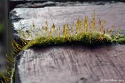 Wall Screw-moss (Tortula muralis)