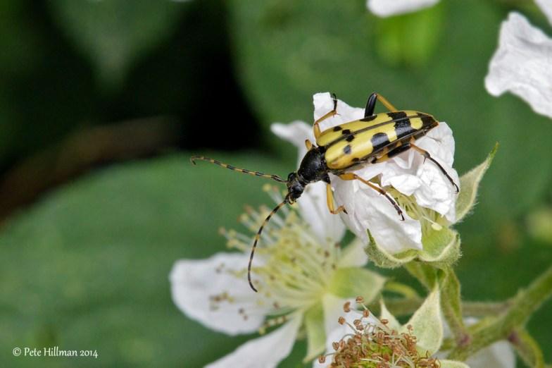 Black and Yellow Longhorn Beetle (Rutpela maculata)