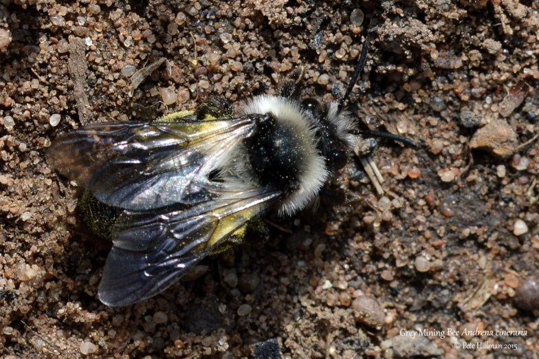 Grey Mining Bee (Andrena cineraria) female