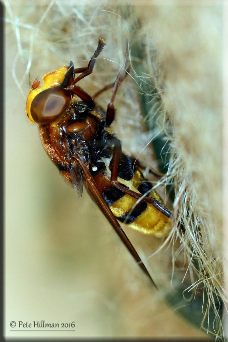 Hornet Hoverfly (Volucella zonaria)