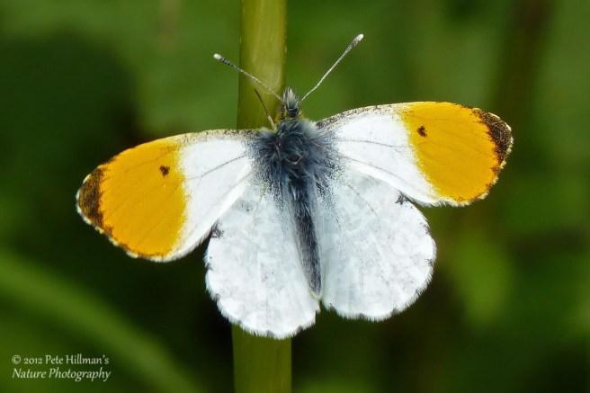 Orange-tip (Anthocharis cardamines) male