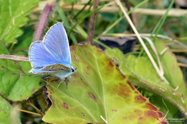 Common Blue (Polyommatus icarus) male