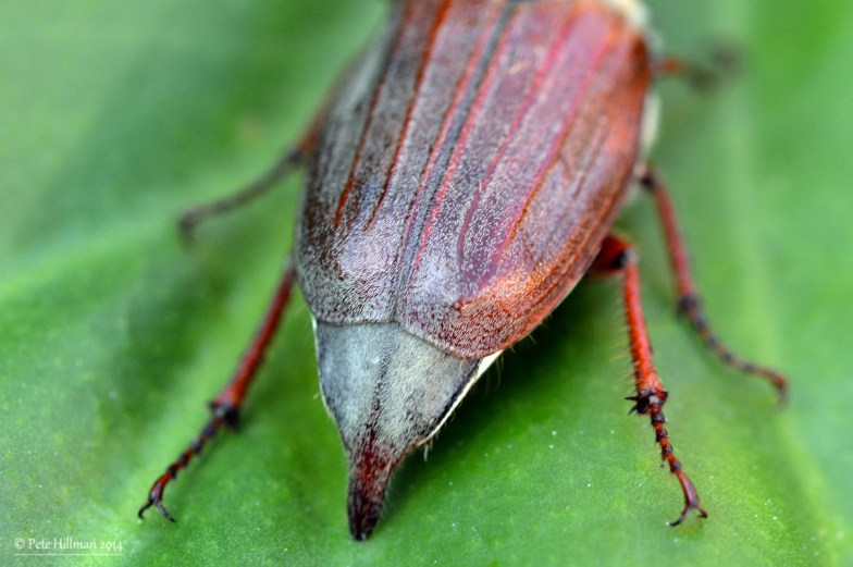Common Cockchafer (Melolontha melolontha)