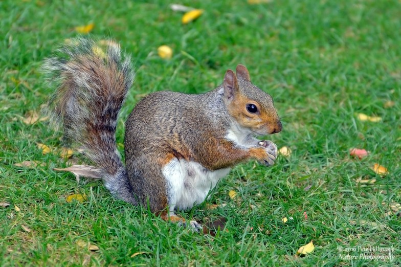 Grey Squirrel (Sciurus carolinensis) female
