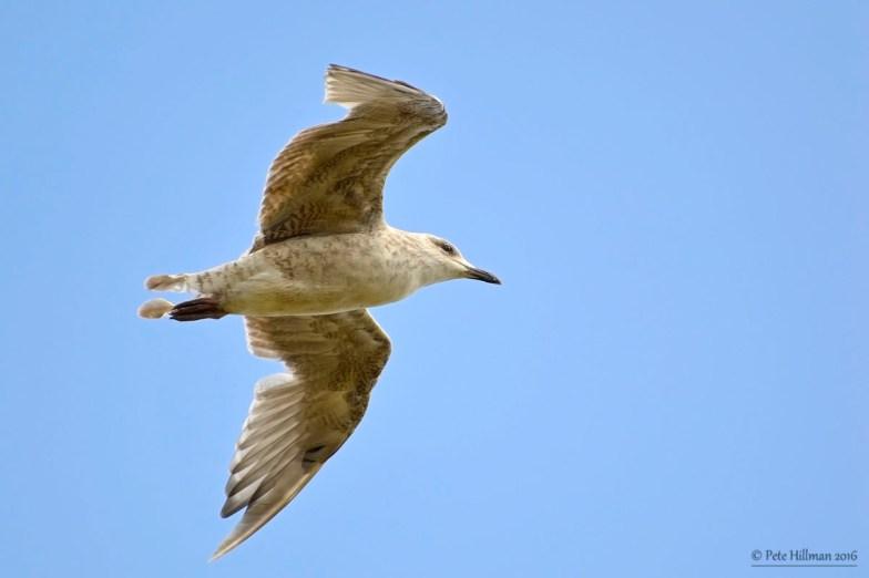 Herring Gull (Larus argentatus) juvenile