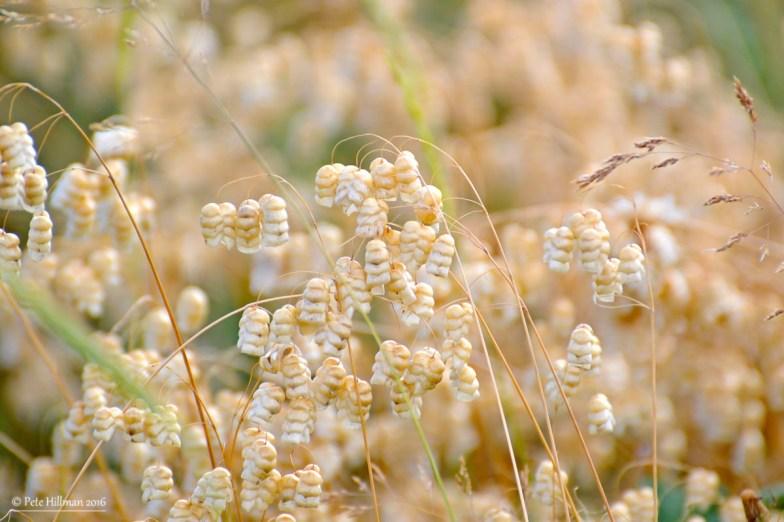 Quaking Grass (Briza media)
