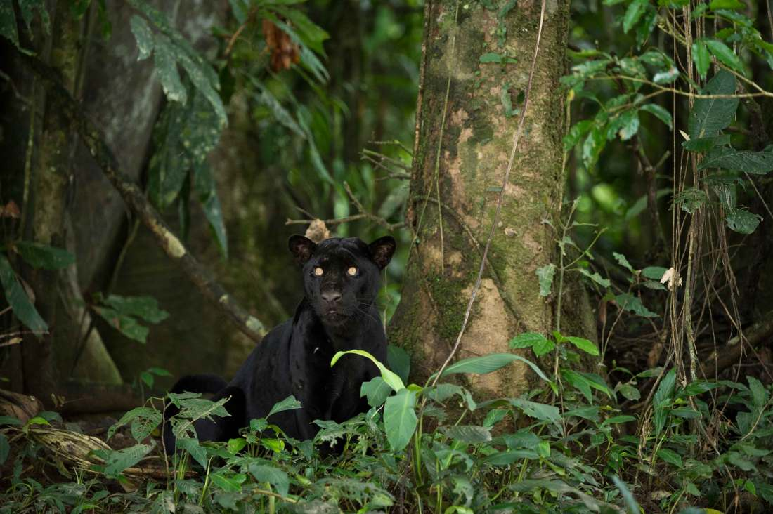 An extremely rare wild black panther looks out from the jungle. Photograph by conservation photographer Pete Oxford.
