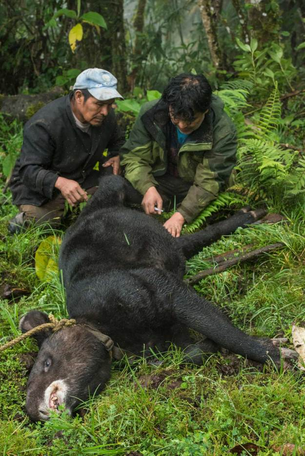 An endangered mountain tapir is captured by researchers in Ecuador. Photograph by conservation photographer Pete Oxford.
