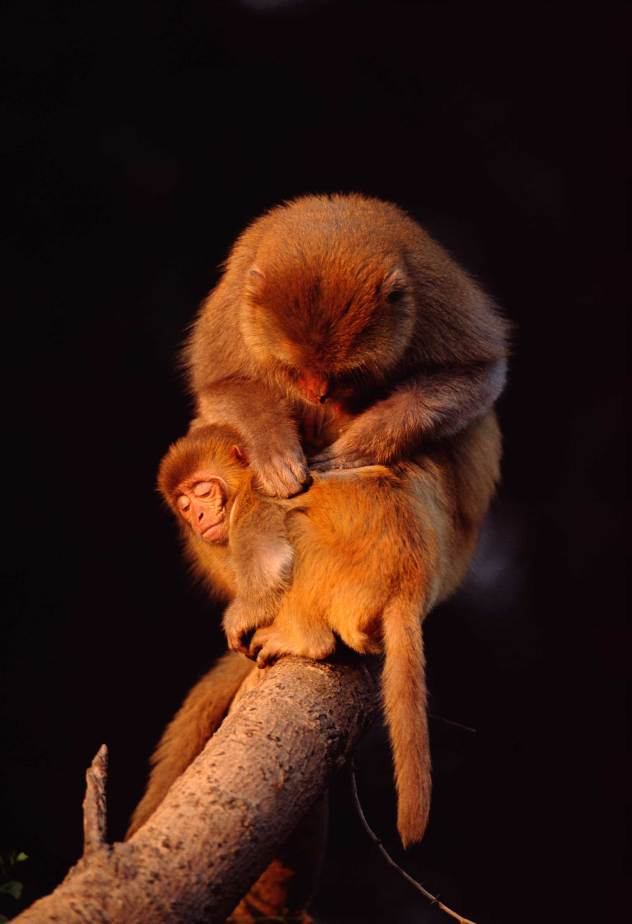 A pair of Rhesus macaque engage in a cleaning ritual. Photo by conservation and wildlife photographer Pete Oxford.