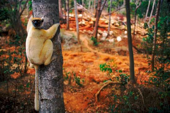 A lemur sits clinging to a tree in Madagascar with forest destruction in the background. Photo by conservation photographer Pete Oxford.