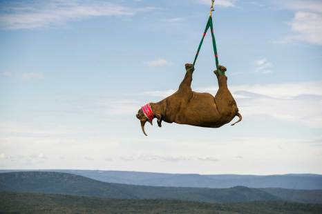 A black rhinoceros is slung from a helicopter for transportation. Photo by aerial photographer and conservation photographer Pete Oxford.