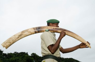 A ma carries a confiscated poached elephant tusk. Photo by conservation photographer Pete Oxford.