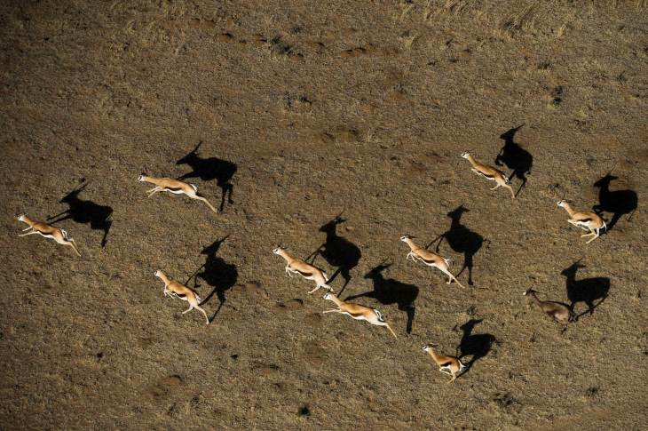 Springbacks are shown running alongside their shadows. Photo by aerial photographer and conservation photographer Pete Oxford.