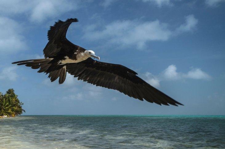 A magnificent frigate bird flies over a beach. Photo by wildlife photographer Pete Oxford.