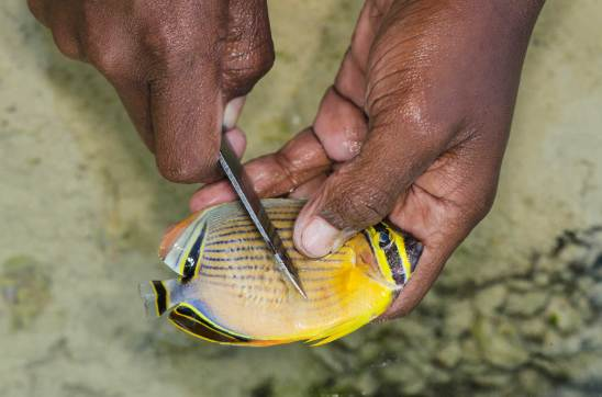 A small fish recently caught by spear fishing is carved. Photo by conservation photographer Pete Oxford.
