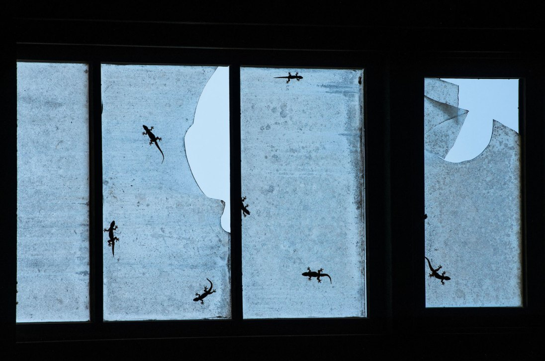 Geckos are silhouetted on broken glass windows. Photo by wildlife photographer Pete Oxford.