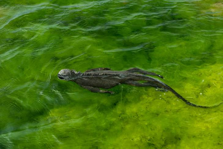 A marine iguana swims in the seaweed filled water off the island of Fernandina in the Galapagos Islands. Photo by conservation and wildlife photographer Pete Oxford.