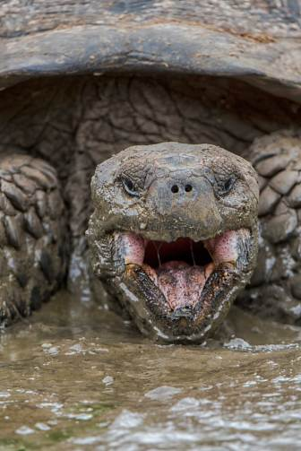 A Galapagos giant tortoise opens its mouth for the camera as it lays in muddy water. Photograph by conservation and wildlife photographer Pete Oxford.
