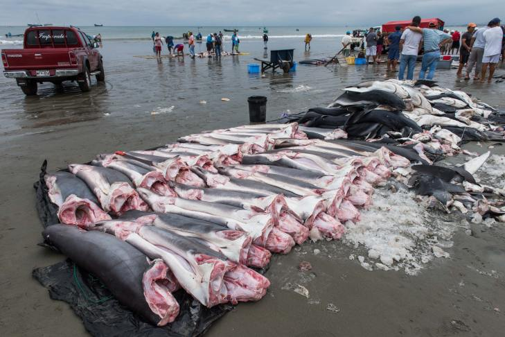 Corpses of sharks lay on the beach. Photo by conservation photographer Pete Oxford.