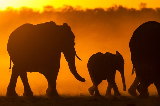 Elephants walk together at sunset with the failing sun behind them. Photo by travel photographer and conservation photographer Pete Oxford.