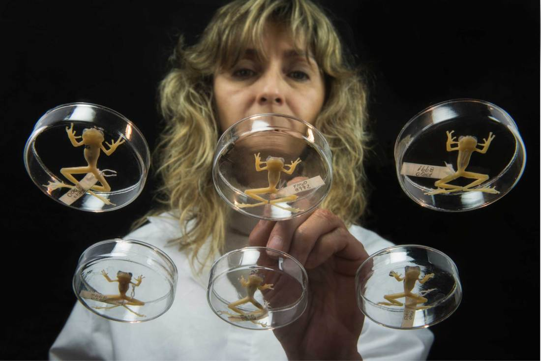 A researcher views a collection of glass frogs in a museum collection.