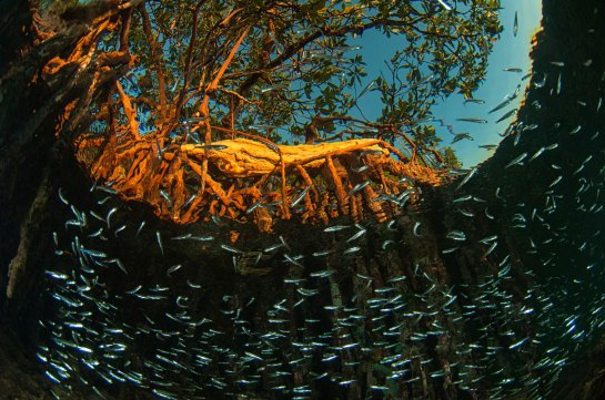 A school of small fish swim beneath a red mangrove tree. Photo by underwater photographer Pete Oxford.