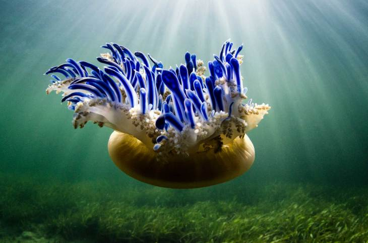 An upside down jellyfish floats underwater surrounded by 'God rays'. Photography by conservation and underwater photographer Pete Oxford.