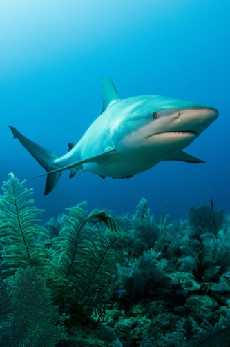 A Caribbean reef shark are shown swimming near to a reef. Photo by underwater photographer and conservation photographer Pete Oxford.