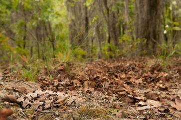 A timber rattlesnake camouflages in dry leaves on the forest floor. Photo by wildlife photographer Pete Oxford.
