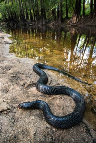 An eastern indigo snake rests by the waters edge with its tail dipping in just a little bit. Photograph by conservation and wildlife photographer Pete Oxford.