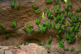 Dusky-headed Parakeets clings to the edge of a claylick in mass. Photo by conservation and wildlife photographer Pete Oxford.