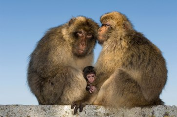 A barbary ape family is shown with a baby. Photo by wildlife photographer and conservation photographer Pete Oxford.