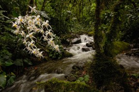 White orchids are shown with a stream in the background. Photo by landscape photographer Pete Oxford.