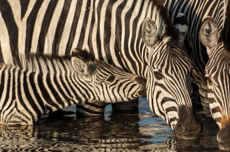Burchell's zebras are shown drinking water. Photo by wildlife photographer and conservation photographer Pete Oxford.