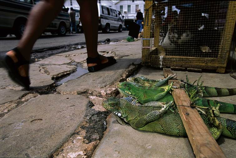 Live iguanas meant for curry are tied up to a wooden pole in Guyana. Photo by conservation photographer Pete Oxford.