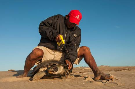 A giant river turtle has its shell marked for future identification. Photograph by conservation photographer Pete Oxford.