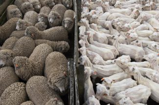 The contrast between shorn sheep and unshorn sheep is shown. Photo by travel photographer Pete Oxford.