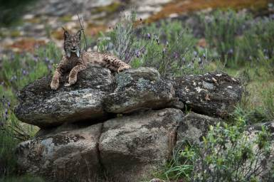 The endangered Iberian lynx rests atop some boulders while taking in its surroundings. Photograph by conservation and wildlife photographer Pete Oxford.