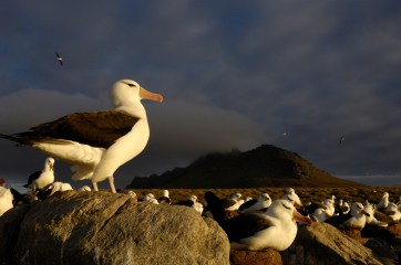 A group of black-browed albatross sit facing the failing sun. Photograph by conservation and wildlife photographer Pete Oxford.