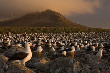 A colony of black-browed albatross sit together amongst a plain of rocks. Photograph by conservation and wildlife photographer Pete Oxford.