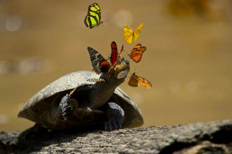 Butterflies surround the face of a yellow-spotted river turtle as it sunbathes. Photo by conservation and wildlife photographer Pete Oxford.