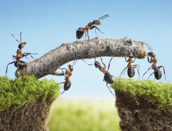 Ameisen überqueren Baumbrücke